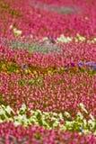 Campo de flores coloridas Fotografia de Stock Royalty Free