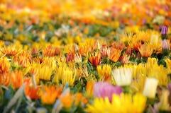 Campo de flores coloridas Imagenes de archivo