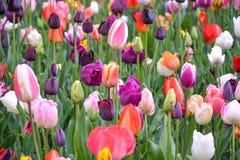 Campo de flores coloridas da tulipa Fotos de Stock