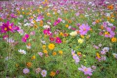 Campo de flores colorido en el jardín de Ushiku Daibutsu, Japón imagen de archivo libre de regalías