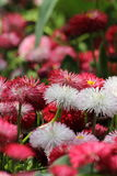 Campo de flores cor-de-rosa e brancas Fotografia de Stock Royalty Free