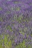 Campo de flores da alfazema foto de stock royalty free