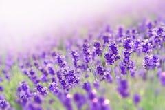 Campo de flores da alfazema da beleza na manhã Foto de Stock Royalty Free