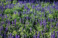 Campo de flores da alfazema na luz solar Foto de Stock Royalty Free