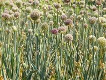 Campo de flores da cebola Fotos de Stock Royalty Free