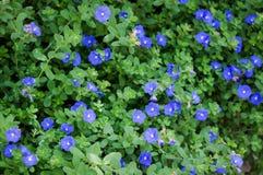 Campo de flores da corriola do anão Imagem de Stock Royalty Free