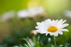 Campo de flores da margarida Fotos de Stock Royalty Free