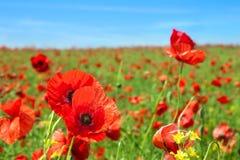 Campo de flores da papoila Imagem de Stock