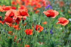 Campo de flores da papoila Fotos de Stock Royalty Free
