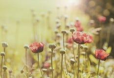 Campo de flores da papoila, estilo do vintage foto de stock