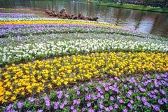 Campo de flores de florescência completo do açafrão Fotos de Stock Royalty Free