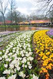 Campo de flores de florescência completo do açafrão Imagem de Stock