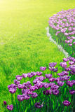 Campo de flores de florescência das tulipas, gramado da grama verde no spr bonito Foto de Stock Royalty Free