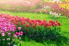 Campo de flores de florescência das tulipas, gramado da grama verde no spr bonito Fotos de Stock Royalty Free