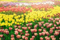 Campo de flores de florescência das tulipas, gramado da grama verde no spr bonito Imagem de Stock Royalty Free