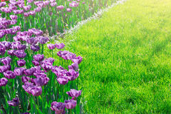 Campo de flores de florescência das tulipas, gramado da grama verde no spr bonito Fotografia de Stock