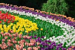 Campo de flores de florescência das tulipas, gramado da grama verde no spr bonito Foto de Stock