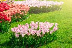 Campo de flores de florescência das tulipas, gramado da grama verde no spr bonito Imagem de Stock