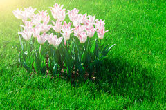 Campo de flores de florescência das tulipas, gramado da grama verde no spr bonito Imagens de Stock