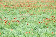 Campo de flores de la amapola Foto de archivo libre de regalías