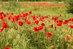 Campo de flores de la amapola Imágenes de archivo libres de regalías