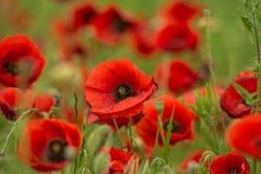 Campo de flores de la amapola Imagenes de archivo