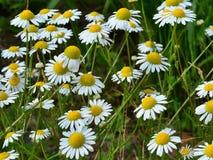 Campo de flores de la manzanilla Fotografía de archivo