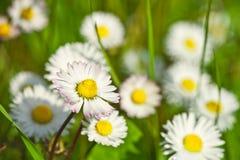Campo de flores de la manzanilla fotos de archivo libres de regalías