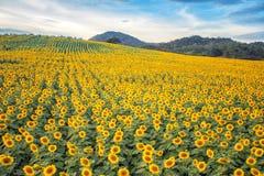 Campo de flores de Sun Imagen de archivo
