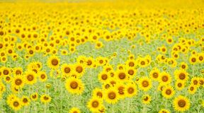 Campo de flores de Sun Imagen de archivo libre de regalías