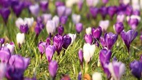 Campo de flores del azafrán de la primavera almacen de metraje de vídeo