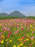 Campo de flores del cosmos Fotografía de archivo