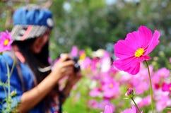 Campo de flores del cosmos de Jim Thompson Farm Imágenes de archivo libres de regalías