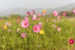 Campo de flores del cosmos en Boon Rawd Farm Foto de archivo