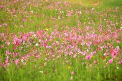 Campo de flores del cosmos en Boon Rawd Farm Fotografía de archivo libre de regalías