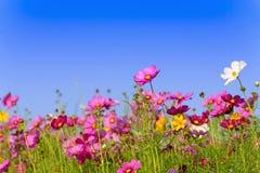 Campo de flores del cosmos en Boon Rawd Farm Foto de archivo libre de regalías