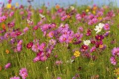 Campo de flores del cosmos en Boon Rawd Farm Imagenes de archivo