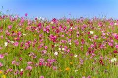 Campo de flores del cosmos en Boon Rawd Farm Fotos de archivo libres de regalías