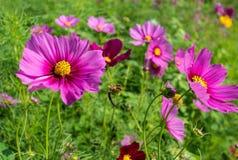 Campo de flores del cosmos en Boon Rawd Farm, Tailandia Imagenes de archivo