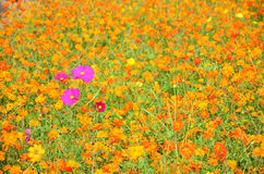 Campo de flores del cosmos en el campo Nakornratchasrima Tailandia Imágenes de archivo libres de regalías