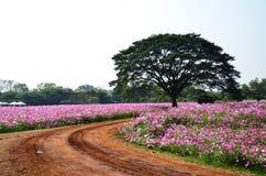 Campo de flores del cosmos en el campo Nakornratchasrima Tailandia Imagenes de archivo