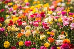 Campo de flores del ranúnculo Foto de archivo