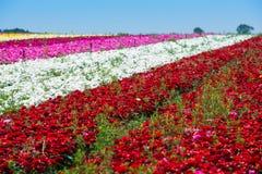 Campo de flores del ranúnculo Fotografía de archivo