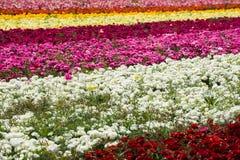Campo de flores del ranúnculo Imagenes de archivo