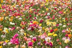 Campo de flores del ranúnculo Fotografía de archivo libre de regalías
