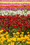 Campo de flores del ranúnculo Imágenes de archivo libres de regalías
