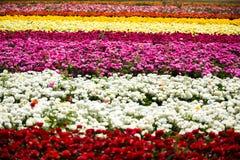Campo de flores del ranúnculo Fotos de archivo