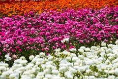 Campo de flores del ranúnculo Imagen de archivo libre de regalías