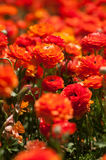 Campo de flores del ranúnculo Foto de archivo libre de regalías