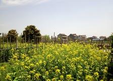Campo de flores del sur chino de la violación del pueblo imagen de archivo libre de regalías